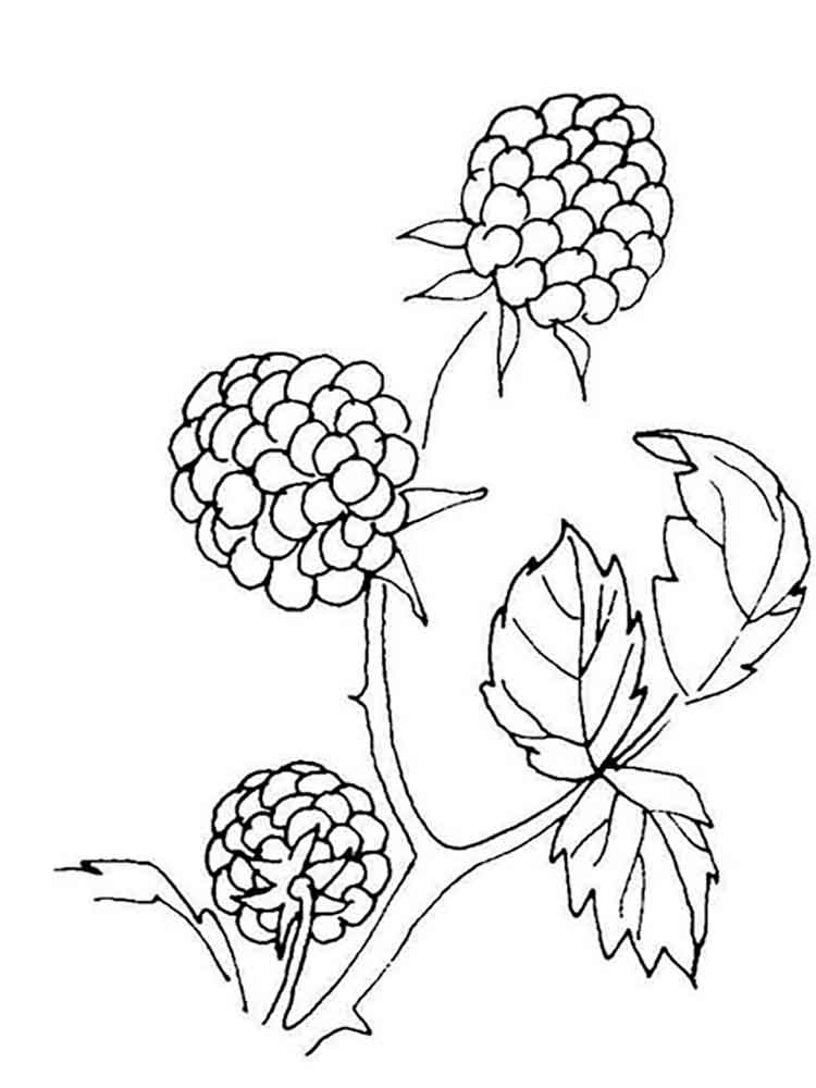 blackberry berries coloring pages 3
