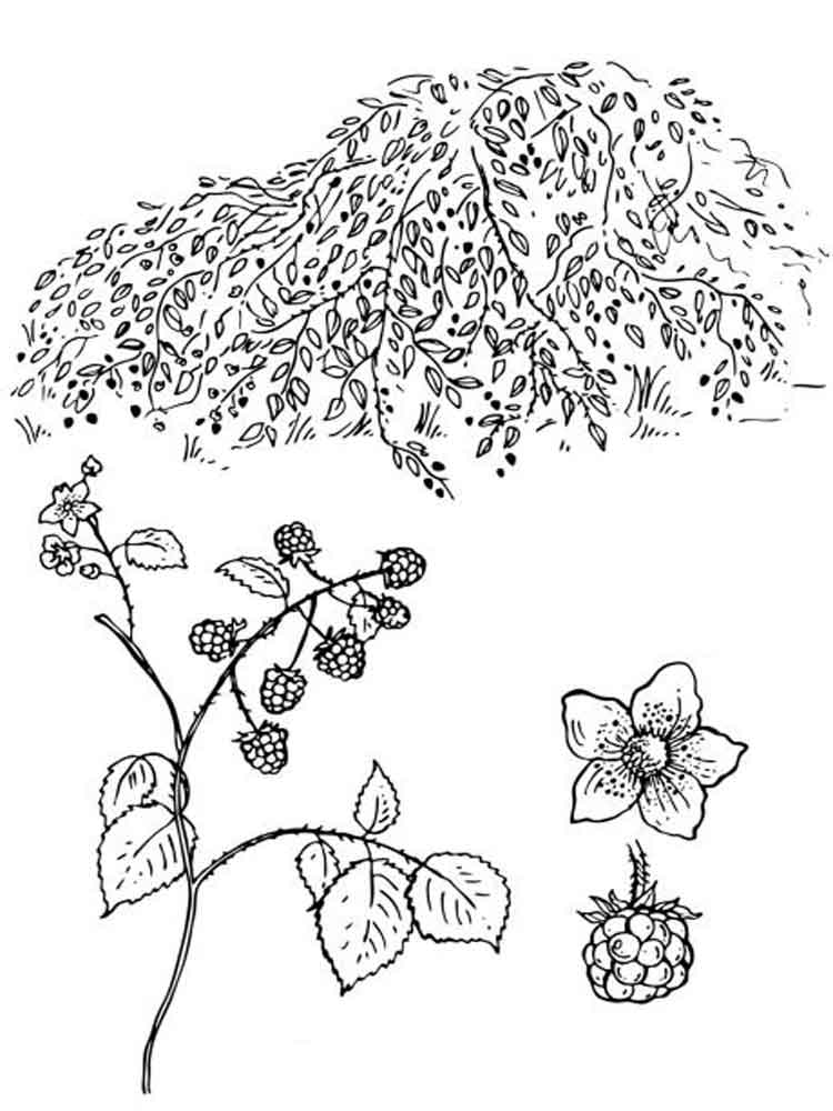 coloring pages blackberries - photo#28