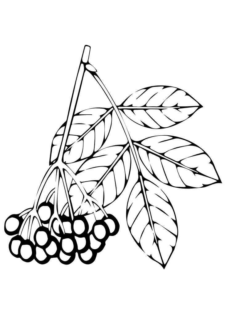 elderberry berries coloring pages 2