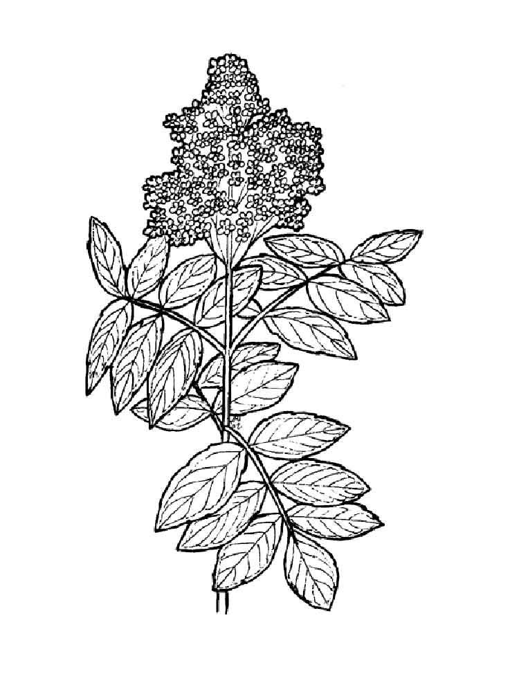 Elderberry coloring pages Download