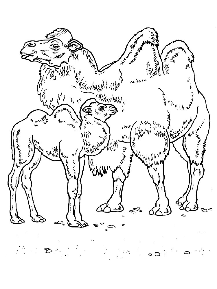Camel coloring pages. Download and print Camel coloring pages