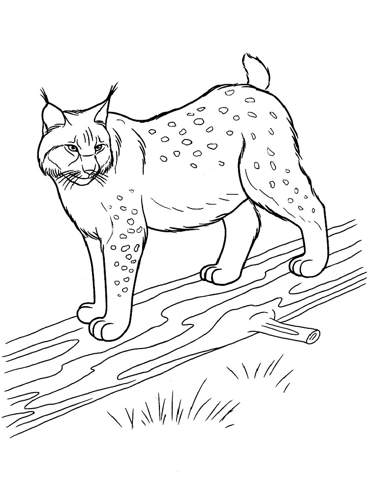 lynx coloring pages free - photo#26