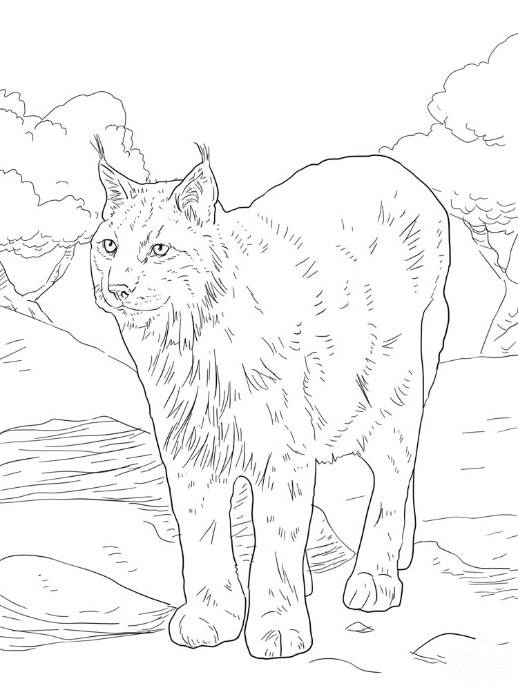 lynx coloring pages for kids - photo#25