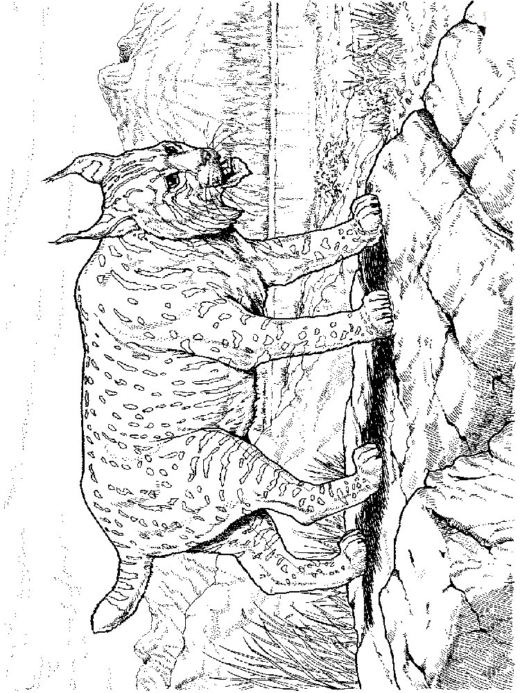 lynx coloring pages for kids - photo#31