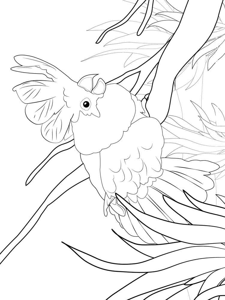 Cockatoo Coloring Pages Download And Print Cockatoo