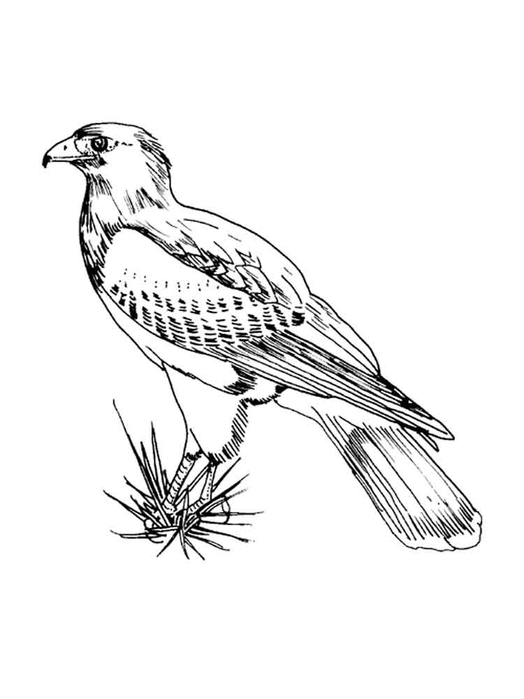 Falcons Birds Coloring Pages 11