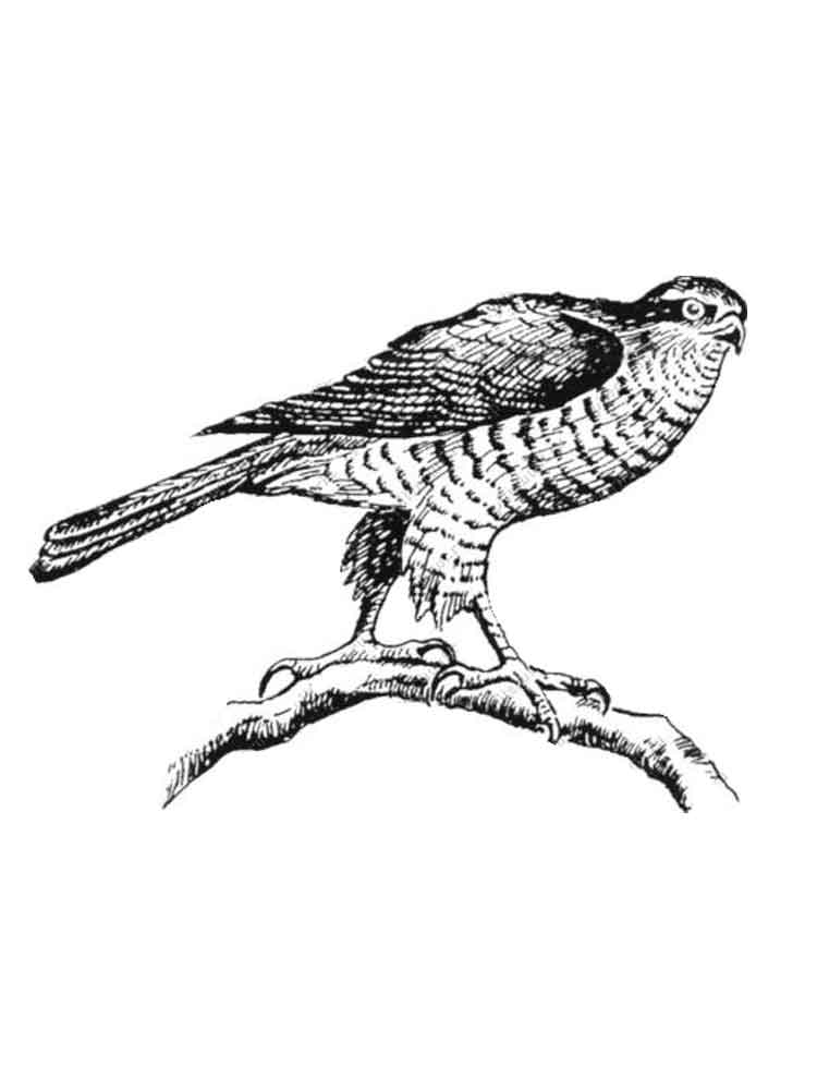 hawks birds coloring pages 1