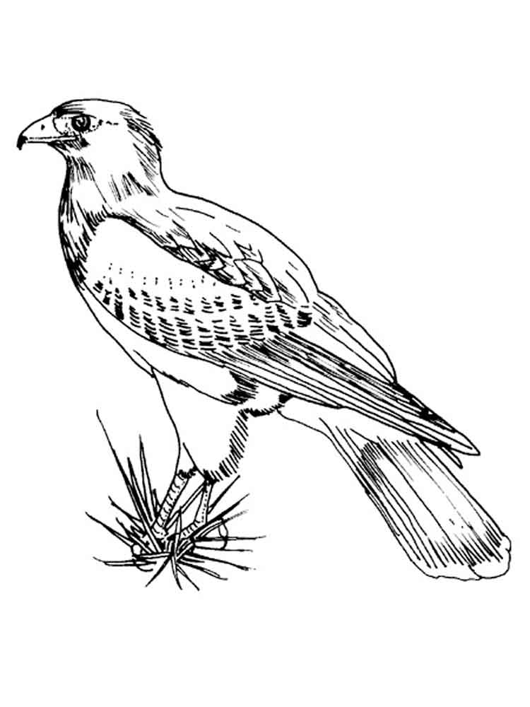 Hawks Birds Coloring Pages 11
