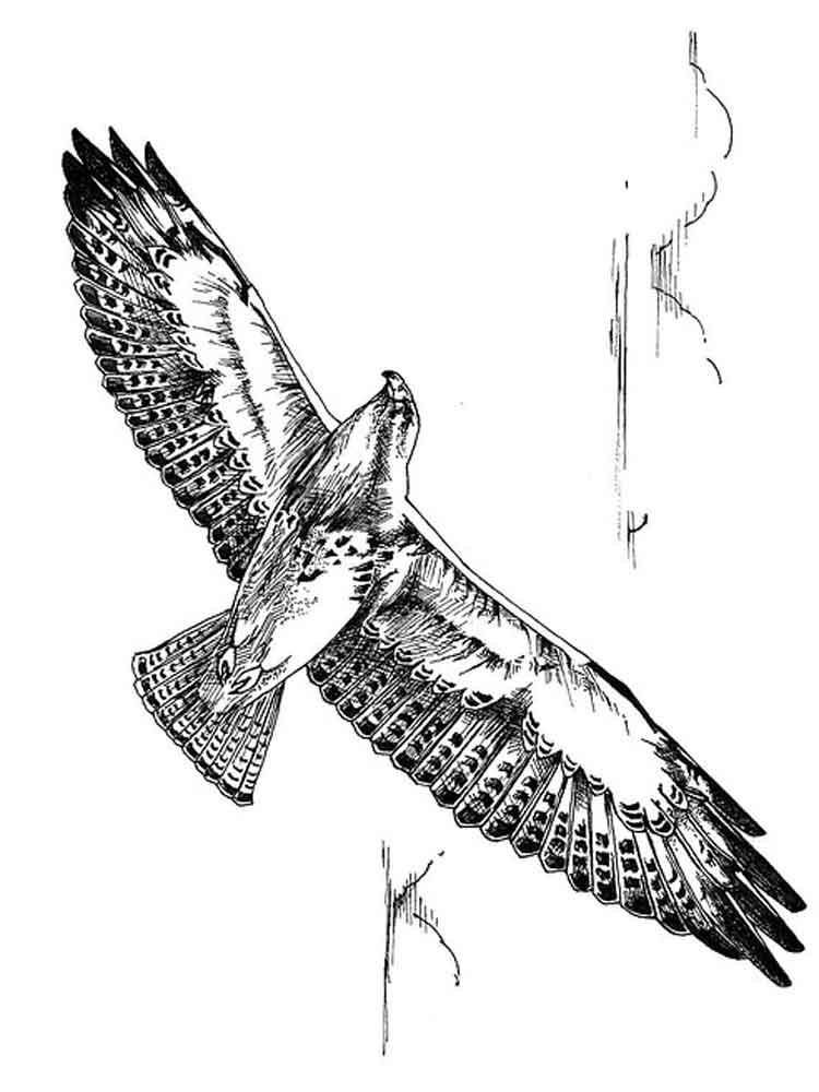 Hawk coloring pages Download and print Hawk coloring pages