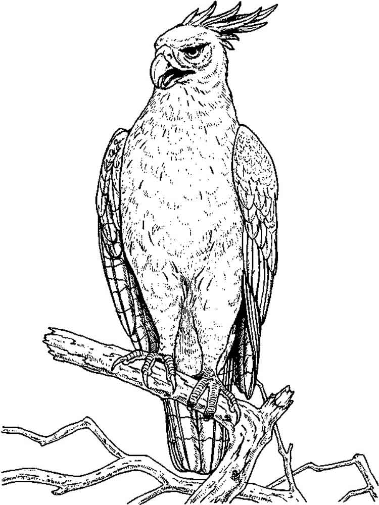 Hawk coloring pages Download and