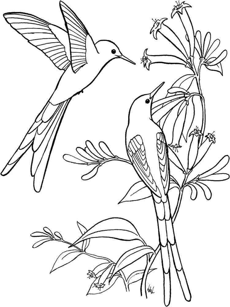 hummingbirds birds coloring pages 13