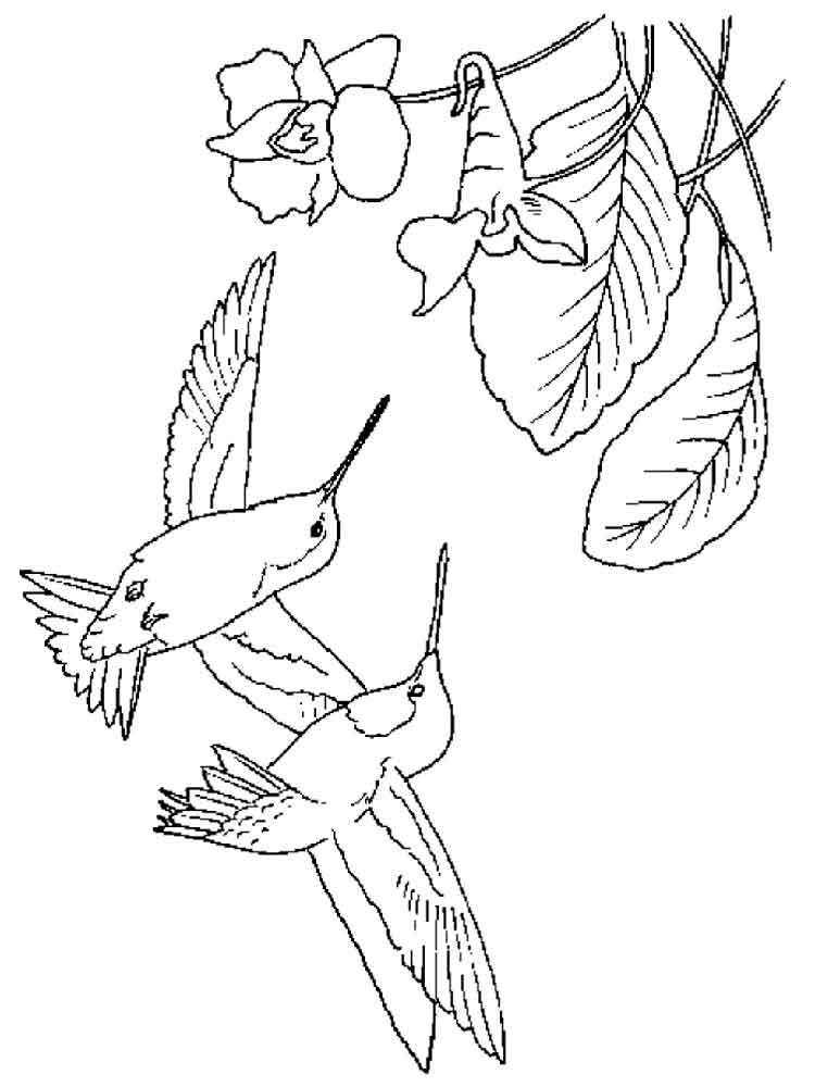 hummingbirds birds coloring pages 18