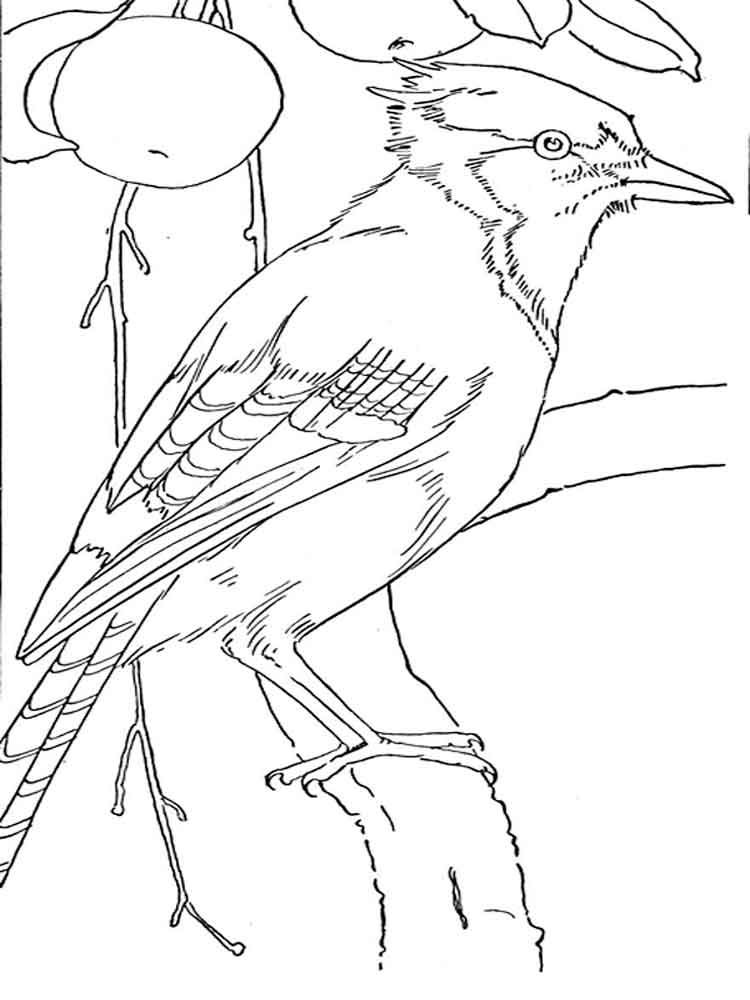 Blue Jay coloring pages. Download and print Blue Jay coloring pages