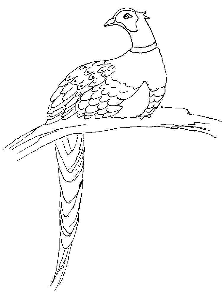 Pheasant Coloring Pages Download And Print Pheasant