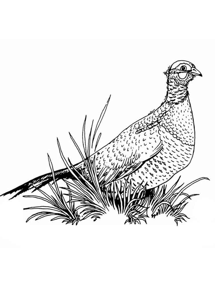 Pheasants Drawings And Coloring