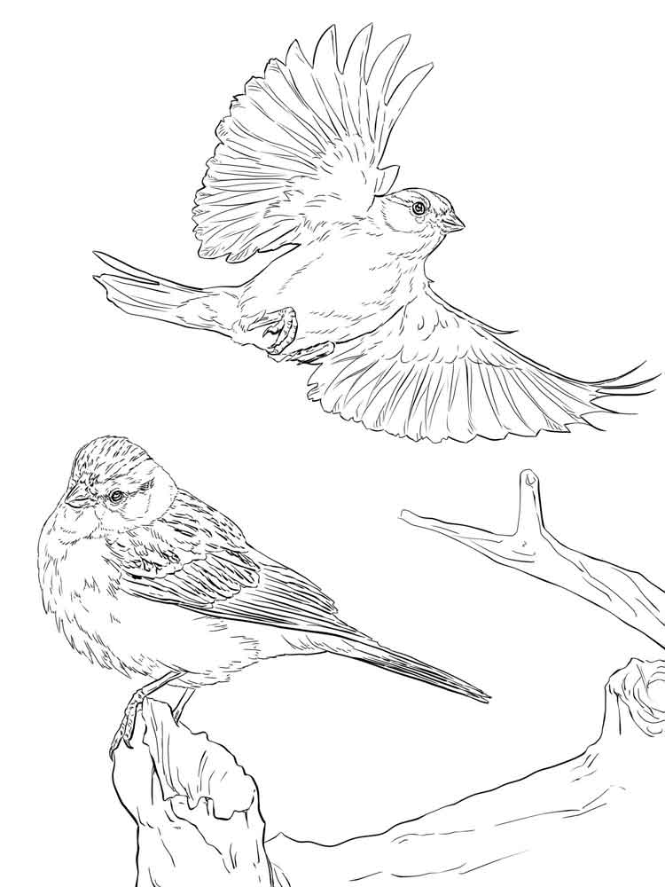 Sparrow coloring pages Download