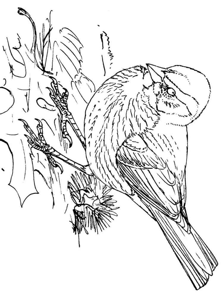 coloring pages sparrow - photo#36