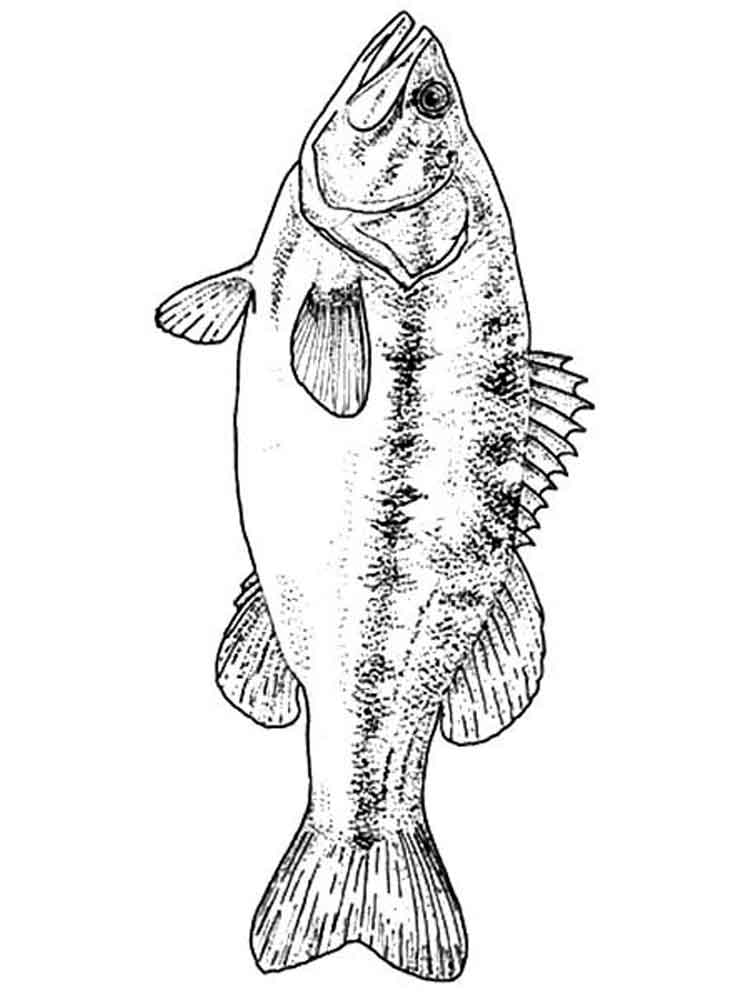 Bass Fish Coloring Pages. Download And Print Bass Fish Coloring Pages.
