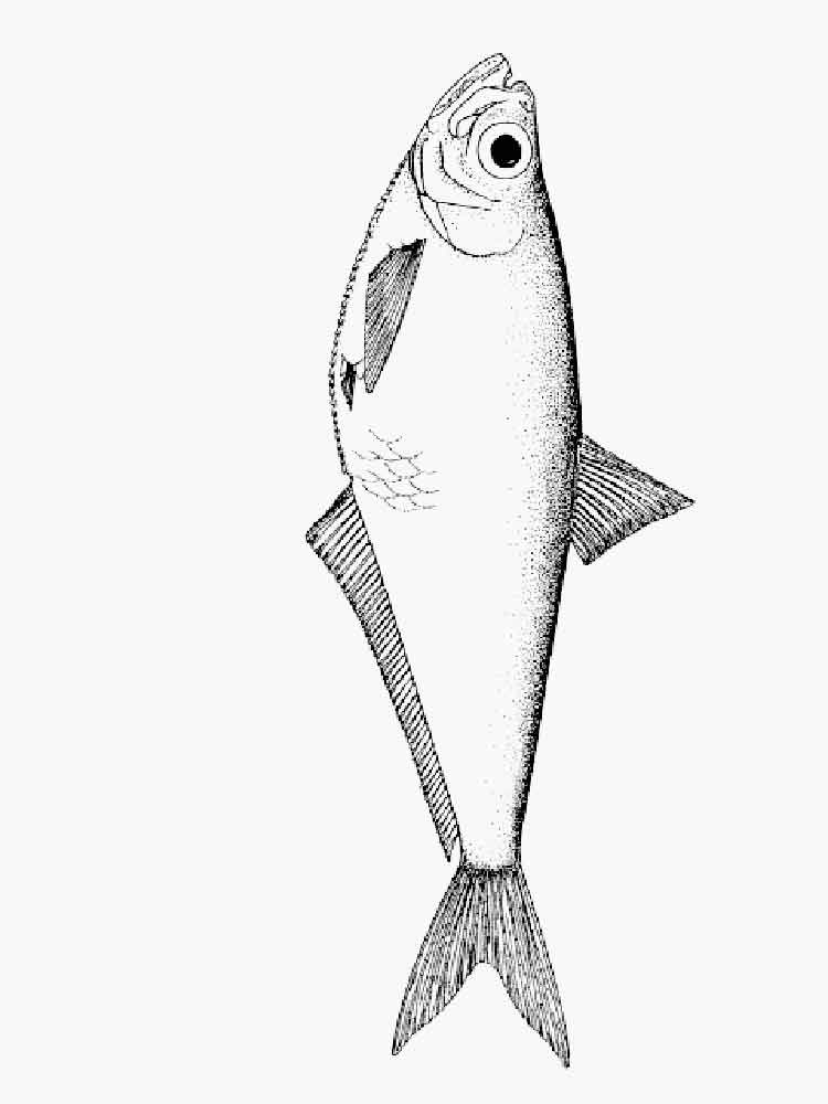 Herring Coloring Pages Download And Print Herring