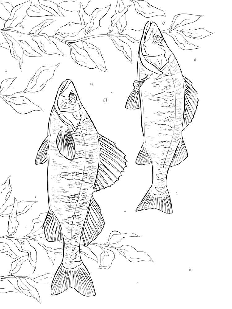 Perch Coloring Pages Download And Print Perch Coloring Pages
