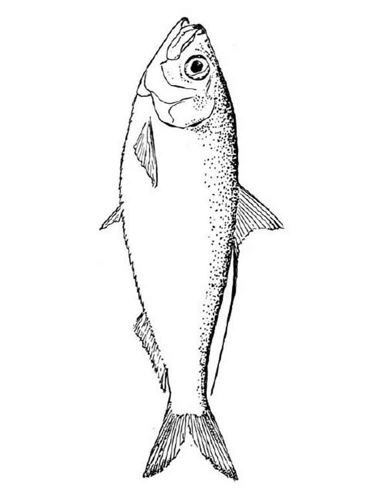 Salmon coloring pages Download