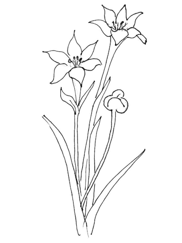 amaryllis coloring pages - photo#6