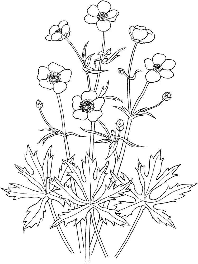 Buttercup flower coloring pages download and print for Buttercup flower coloring pages