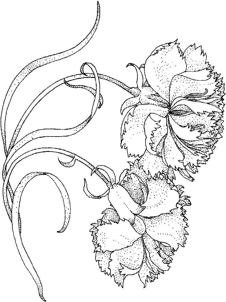 Carnation flower coloring pages