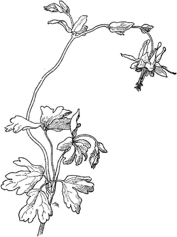 Columbine Flowers Coloring Pages Download And Print