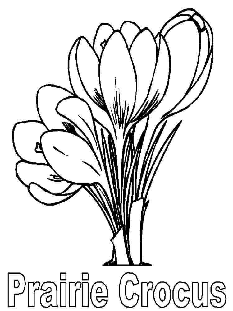 Crocus Flower Coloring Pages 10