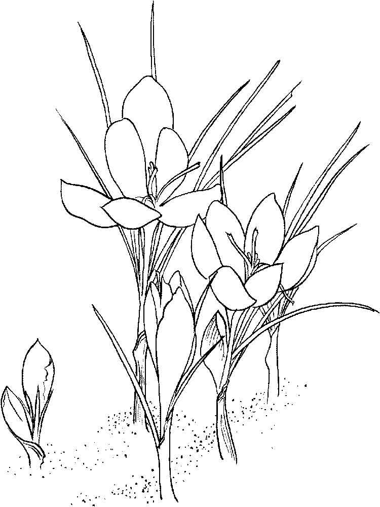 Crocus coloring pages Download and print Crocus coloring