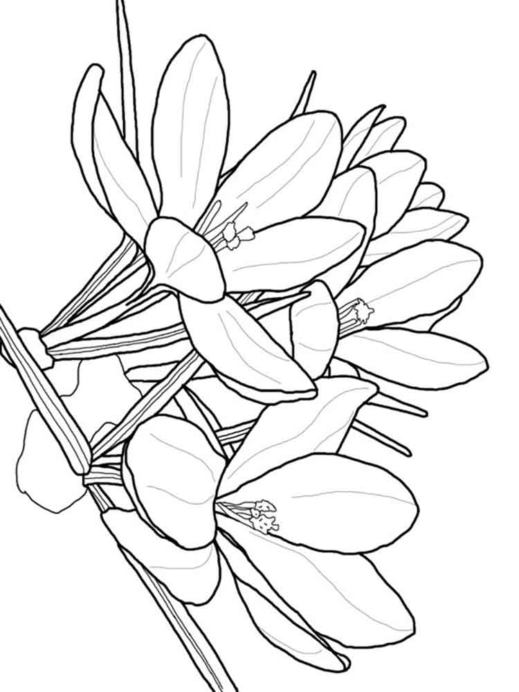 Crocus coloring pages Download