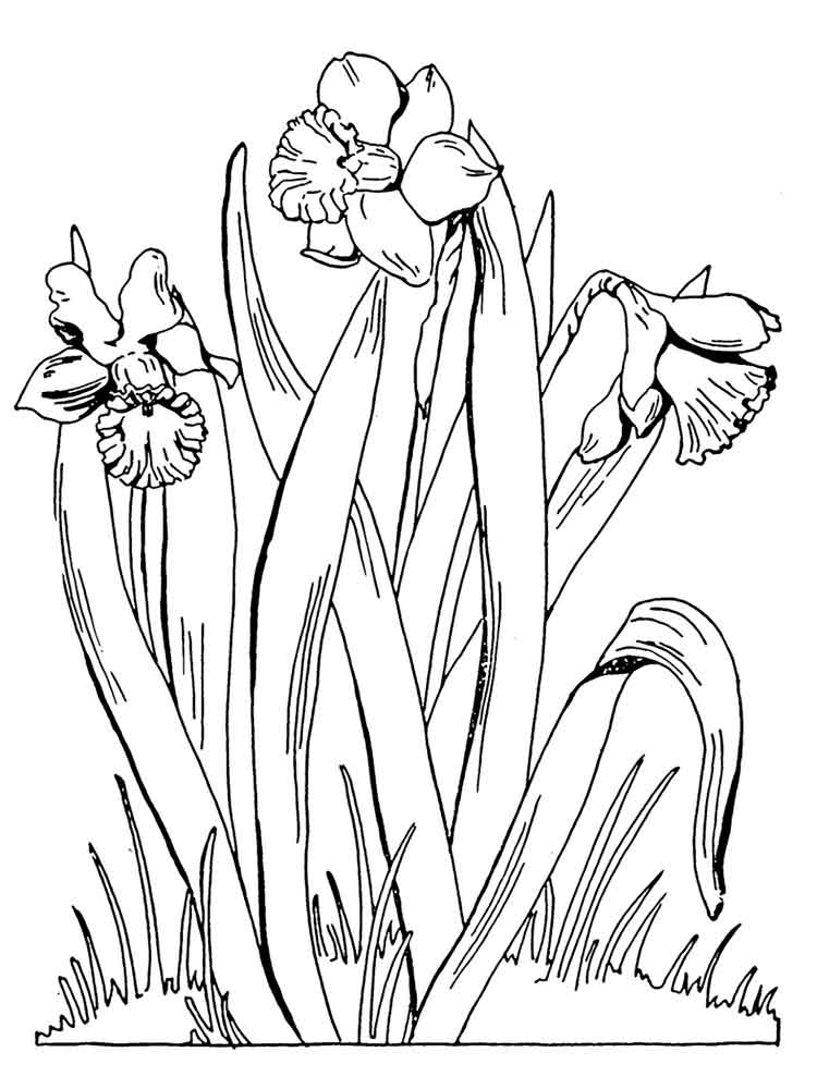 daffodil flower coloring pages 1