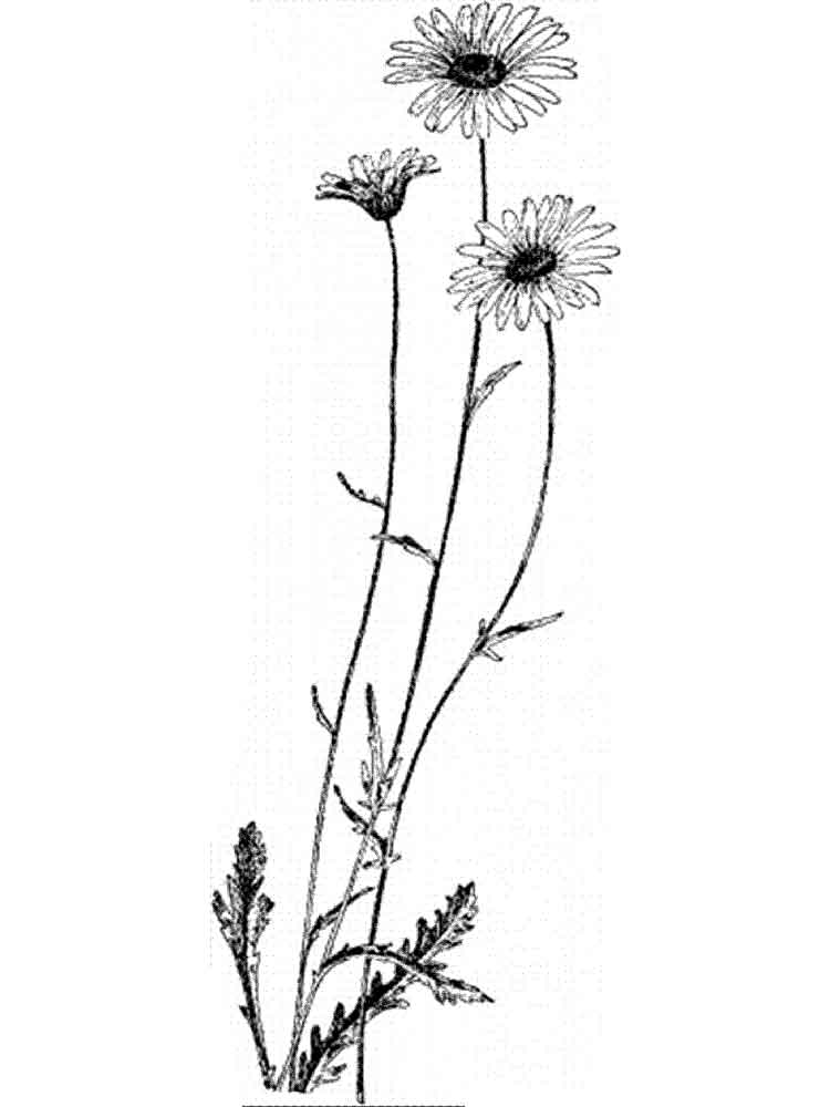 Daisy Flower Coloring Pages 11