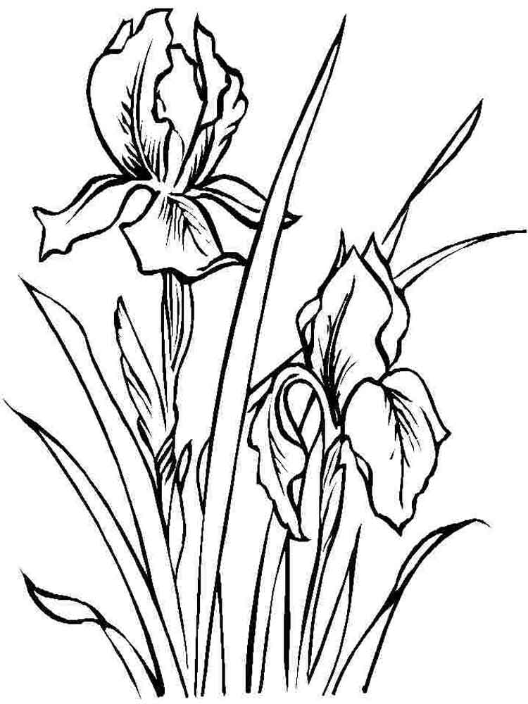 Line Drawing Of Iris Flower : Iris flower coloring pages download and print