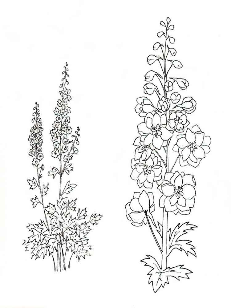 larkspur coloring pages - photo#1