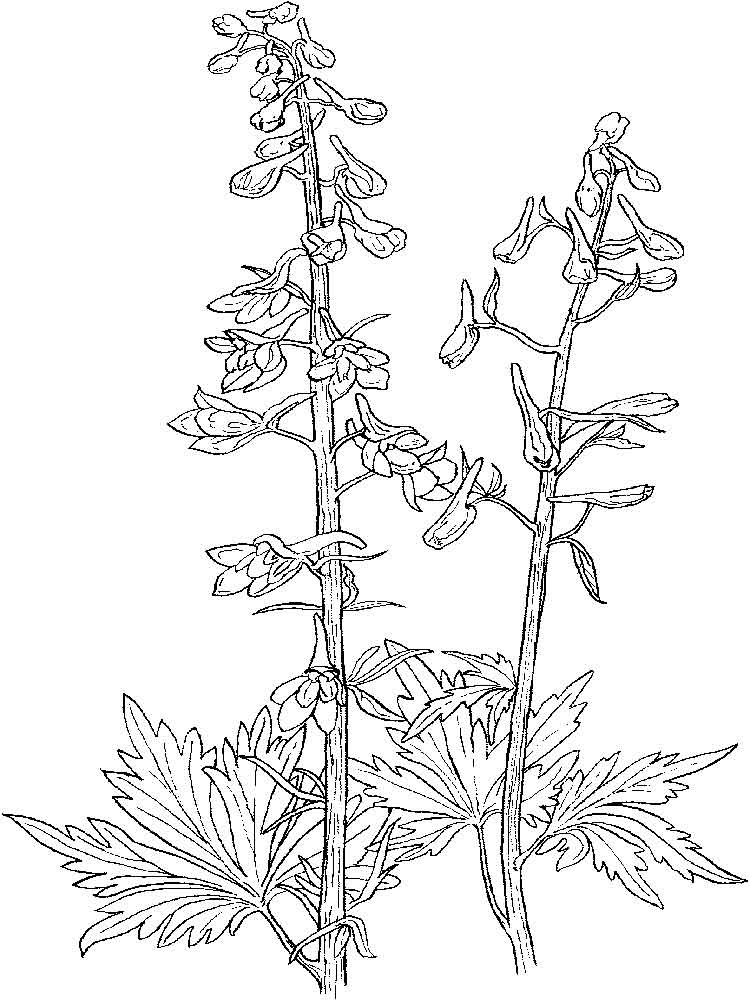 larkspur coloring pages - photo#6