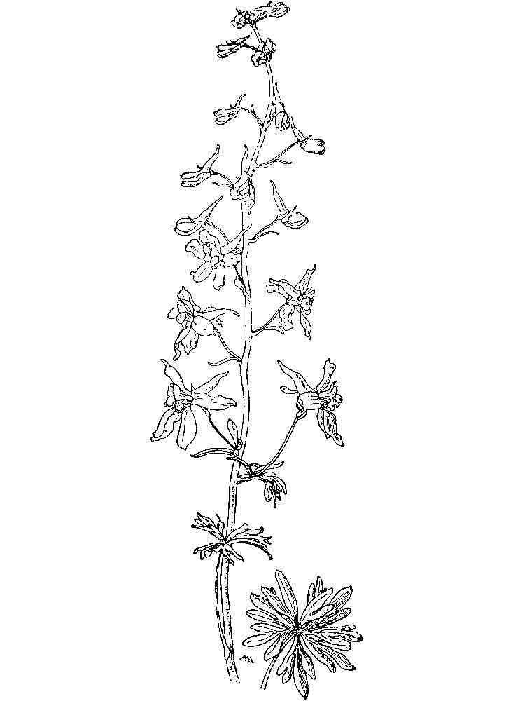 Larkspur Flower coloring pages