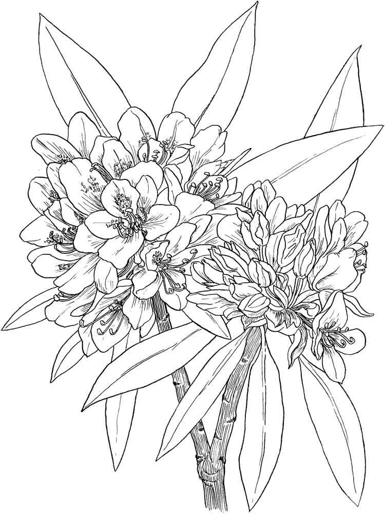 Laurel Flower coloring pages Download and print Laurel
