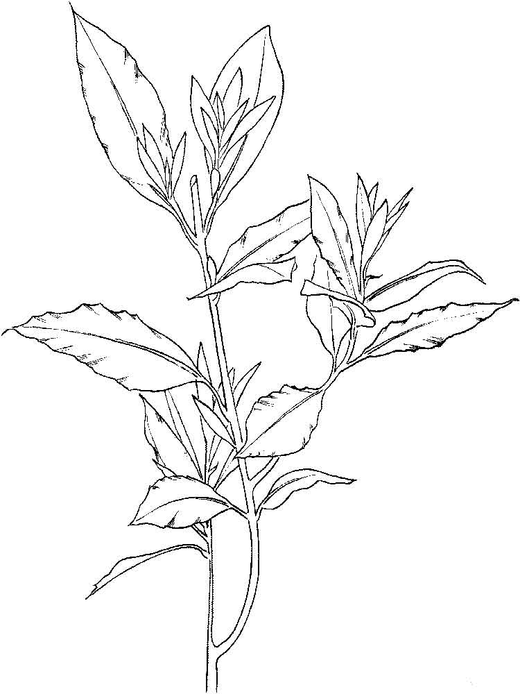 Laurel Flower coloring pages Download and print Laurel