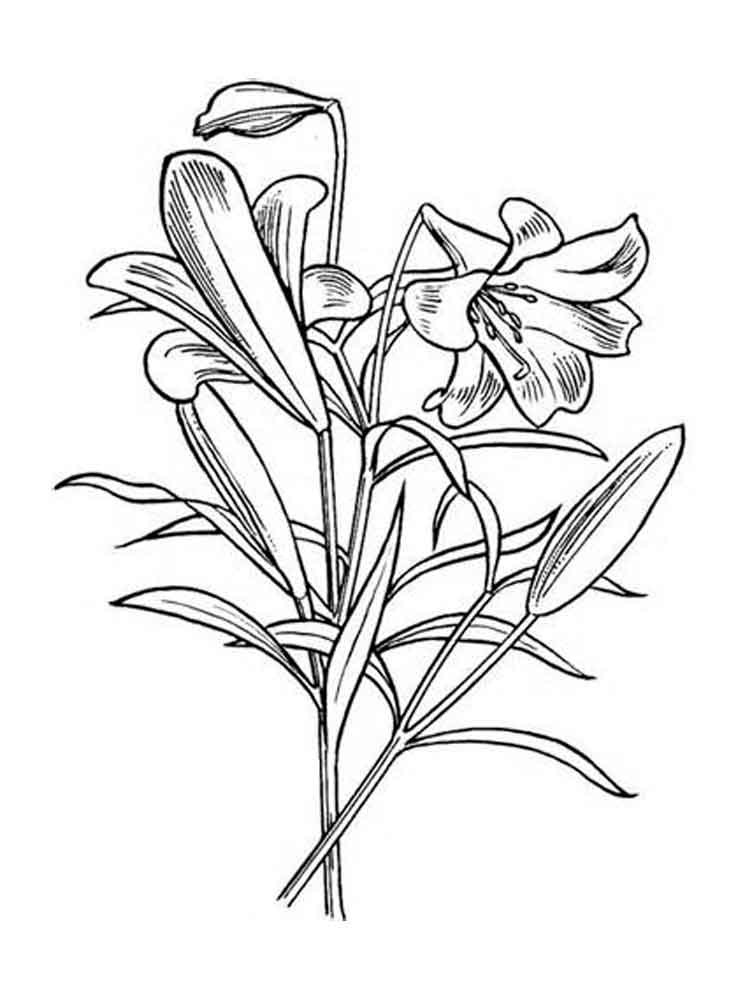 Lily Flower coloring pages. Download and print Lily Flower ...