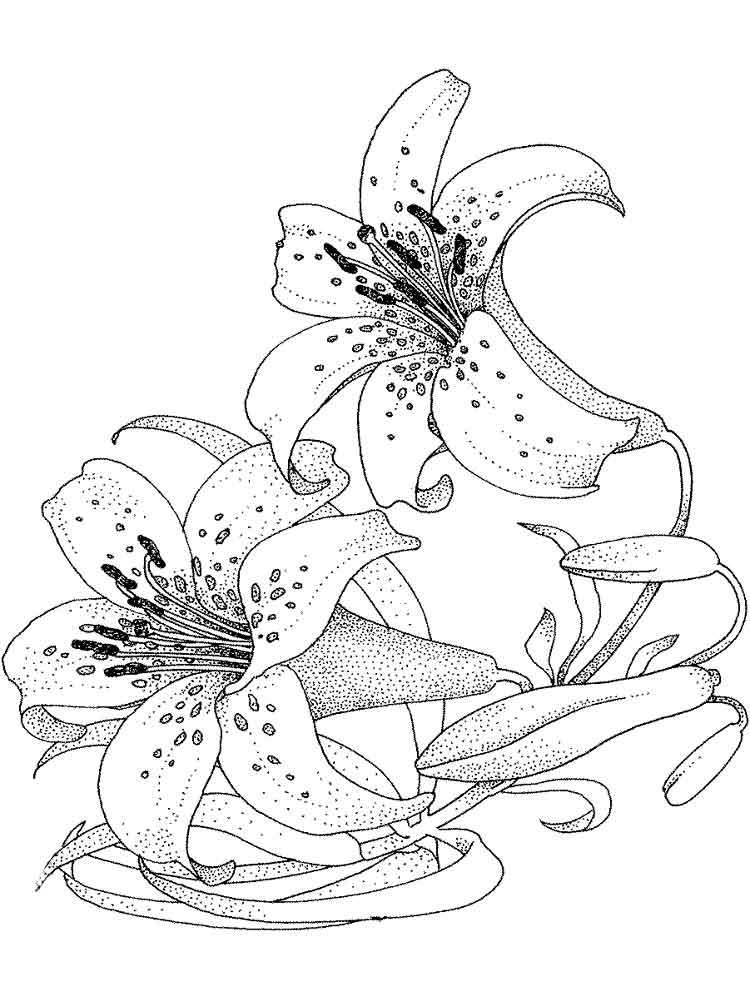 lilies flower coloring pages 16 - Lily Coloring Pages