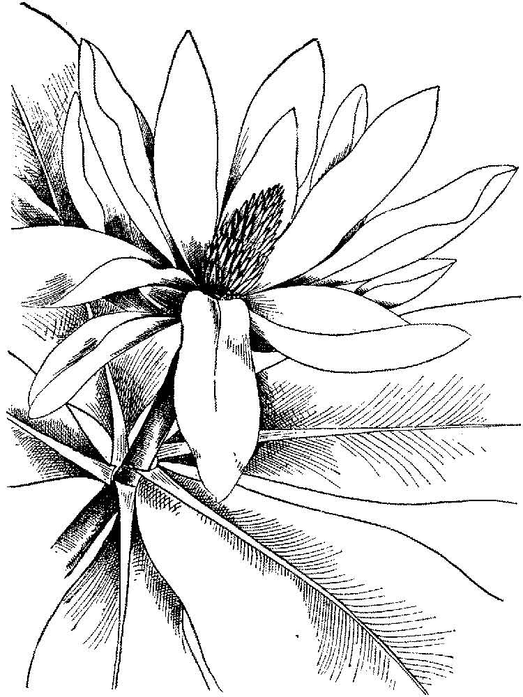 Magnolia coloring pages Download