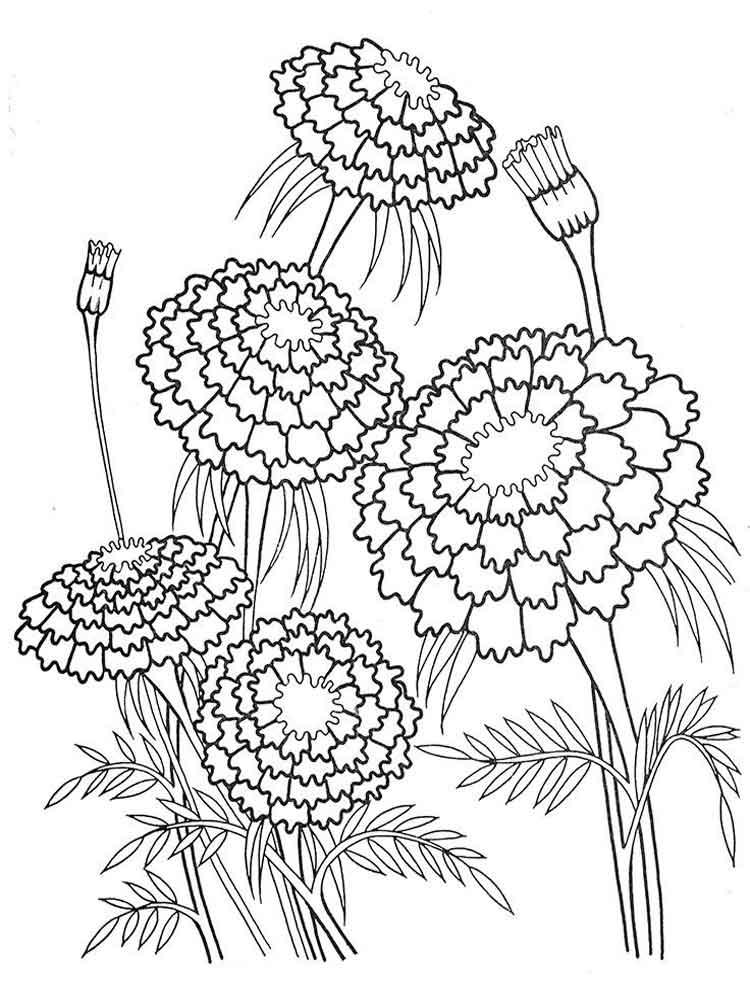 Marigold Flower Line Drawing : Hydrangea coloring sheets bing images