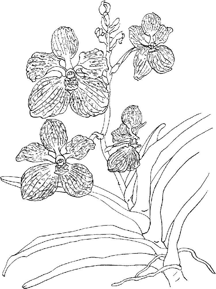 orchid coloring pages - photo#25