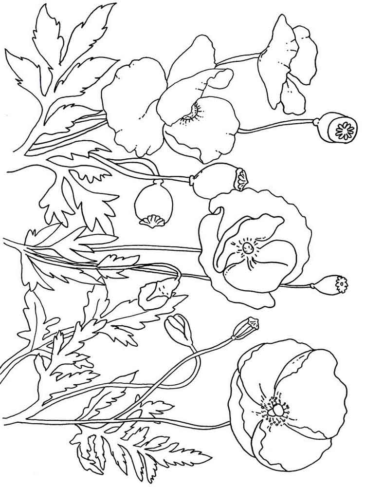 Blank Poppy Flowers Coloring Sheets