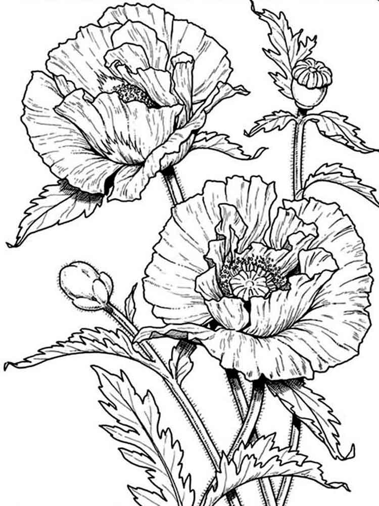 poppy flower coloring pages 8