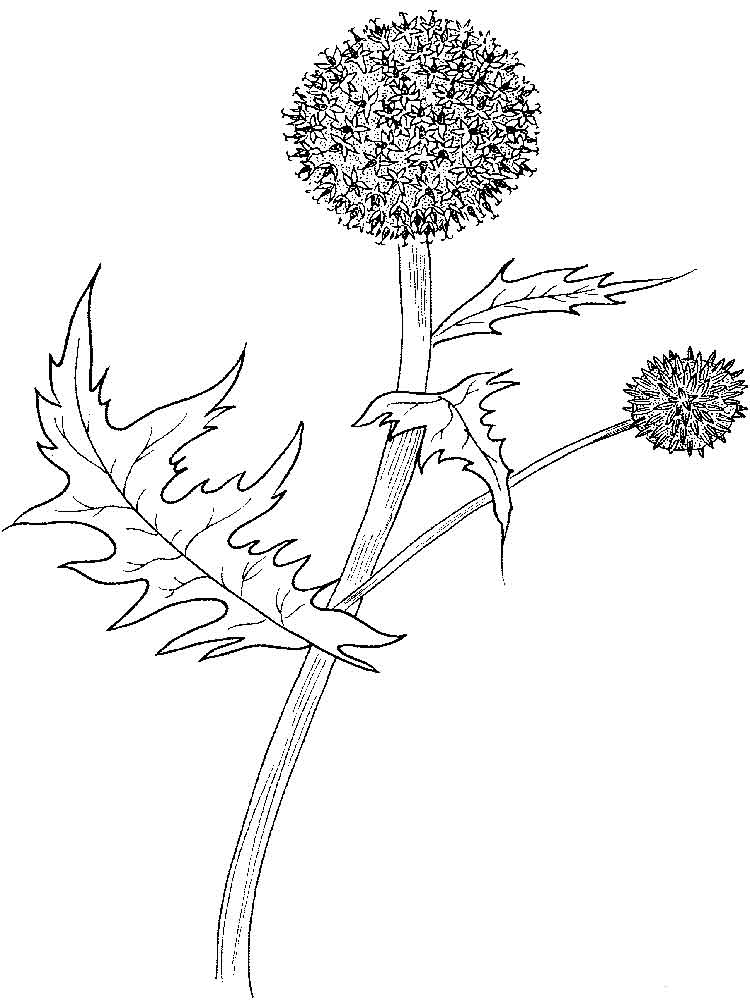 Thistle Flower Coloring Pages 2