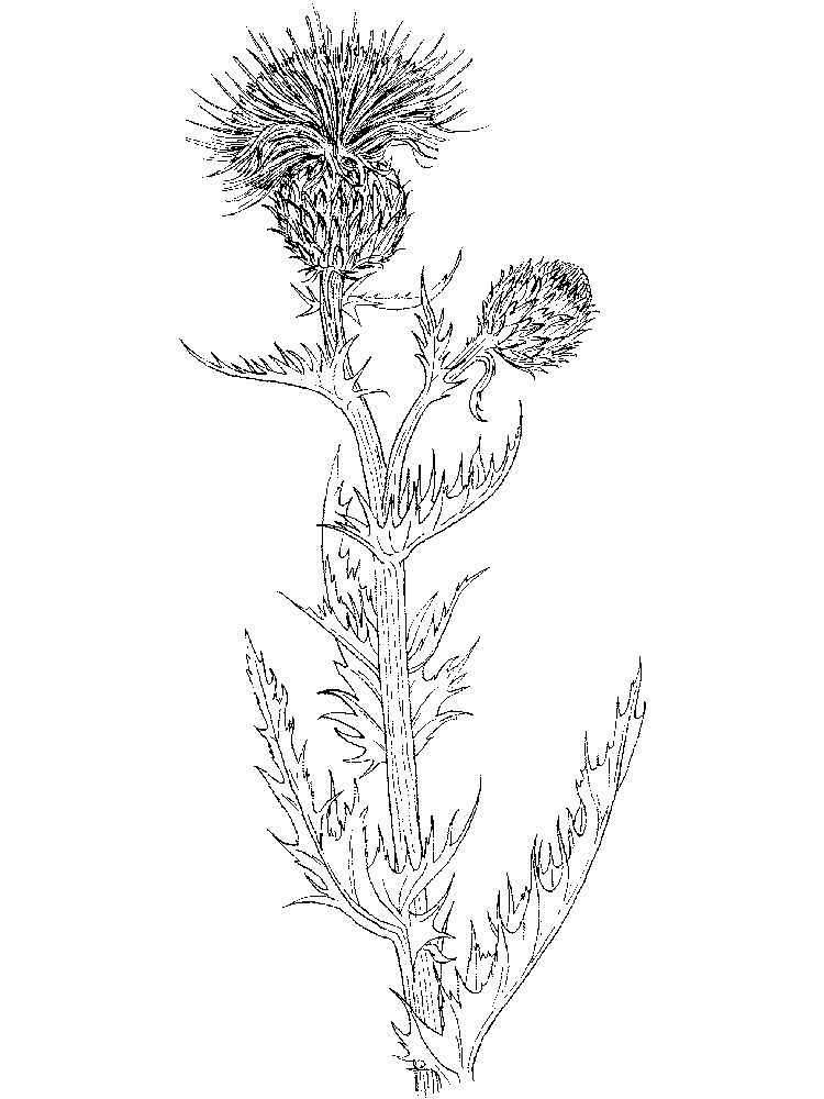 Thistle Flower Coloring Pages Download And Print Thistle