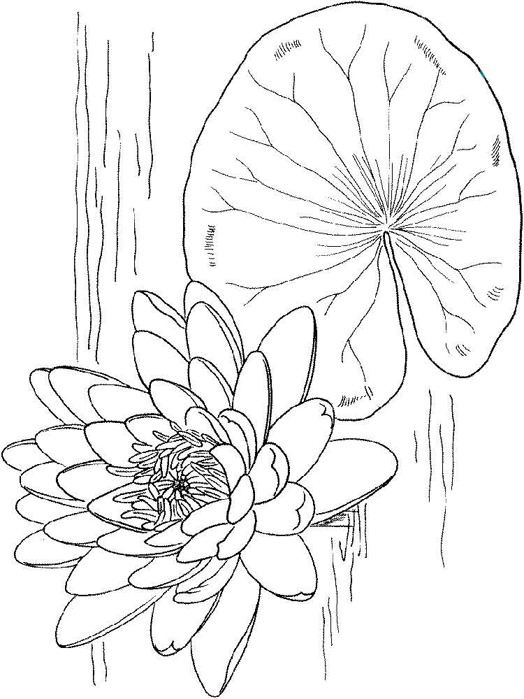 Water Lily Coloring Pages Download And Print Water Lily